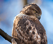 The red-tailed hawk in Northern Woods, NYC.