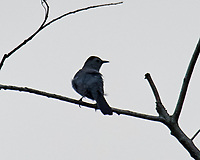 Gray Catbird. Image taken with a Nikon D3s camera and 600 mm f/4 VR lens with a 2.0x TCE-II teleconverter