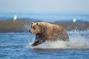 Alaskan brown bear Alaskan brown bear fishing for silver salmon in Lake Clark National Park