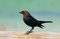 A beautiful male brown-headed cowbird on the edge of Eagle Harbor in rural Gulf County, Florida.