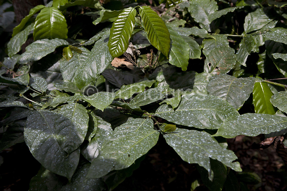 Coffee plants leaves beans on the plant, green, detail shot. Coorg or Kadagu is the largest coffee growing region of India, in the state of Karnataka, the inhabitants - the Kodavas have been cultivating crops such as coffee, black pepper and cardamon for many generations.