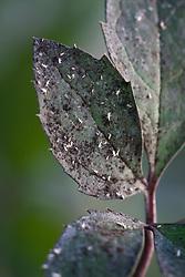 Whitefly on leaf of Helleborus ericsmithii 'Emma'. Aleyrodidae