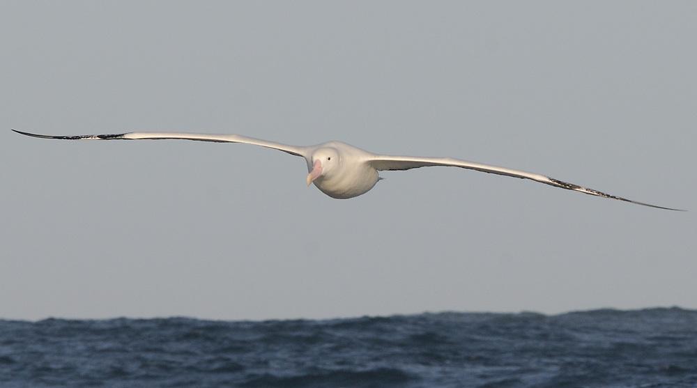 A Wandering Albatross (Diomedea exulans) in flight. Southern Ocean,  South Georgia. 18Feb16