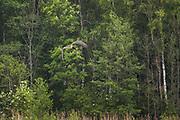 Black stork (Ciconia nigra) in flight, Ķemeri National Park, Latvia Ⓒ Davis Ulands   davisulands.com