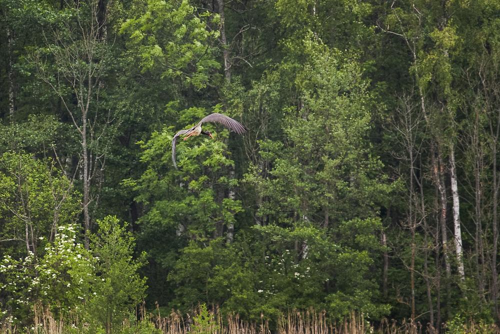 Black stork (Ciconia nigra) in flight, Ķemeri National Park, Latvia Ⓒ Davis Ulands | davisulands.com