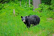 American black bear (Ursus americanus) <br />Whistler<br />British Columbia<br />Canada