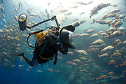 Large schools of Red Snapper (Lutjanus bohar) gathered at Ras Mohammed, with diver photographing them
