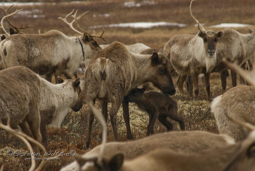 Amidst a herd of reindeer grazing on lichen growing north of the Arctic Circle in Russia, a reindeer calf begins to suckle from its mother.