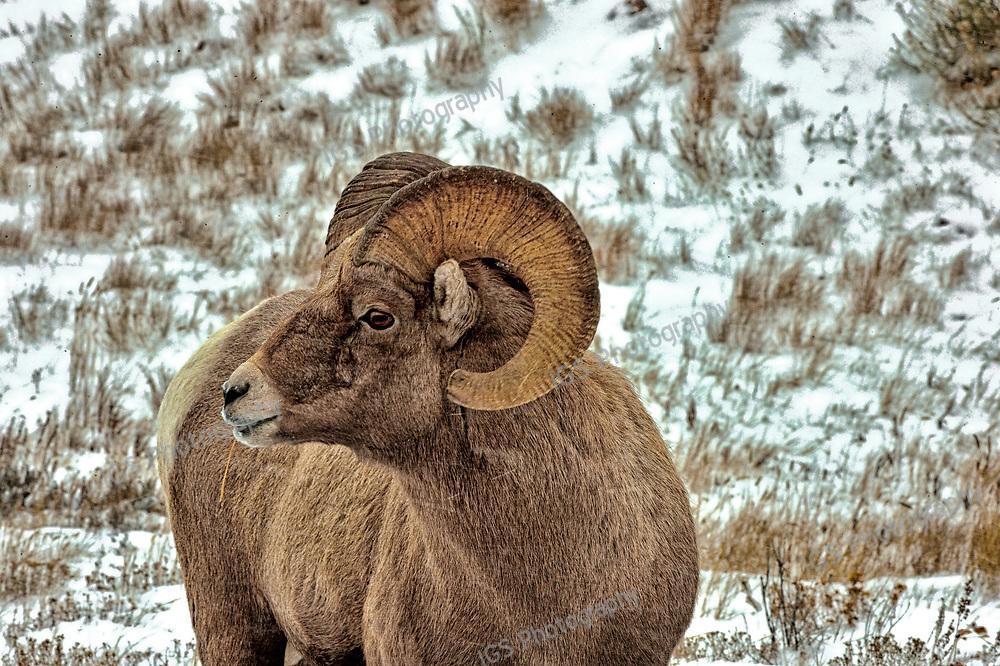 Bighorn Ram taken at Miller Butte on the National Elk Refuge in Jackson Wyoming