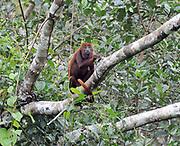 A miserable looking red howler monkey (Alouatta seniculus). Yasuni National Park, Amazon, Ecuador.