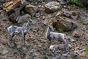 These young mountain goats (Oreamnos americanus), also known as the Rocky Mountain Goats, are resting on their way up a steep slope in the Colorado Rocky Mountains.  Mountain goats are sure-footed cliff climbers that are endemic to subalpine to alpine areas of North America.  They are the largest mammal in these high-altitude environments often exceeding 3,900 meters (13,000 ft). In summer, they generally stay above tree line, but occasionally migrate to lower elevations in the winter. Despite its common name, they are not a member of Capra, the genus that includes all other goats, but rather related to antelopes, gazelles, and cattle. <br /> <br /> Mountain goats are about 1 m (3.3 ft) tall at the shoulder and males are larger than females. Mountain goats can weigh between 45 and 140 kg (99 and 309 lb) with a length of 10–179 cm (4 to nearly 6 ft.).  Both male and female mountain goats grow black horns reaching 15–28 cm (5.9–11.0 in) in length.  After they are about 22 months old, the horns are visible and it is possible to tell the age of a mountain goat by counting the number of rings on its horns.  Two of the individuals in this image are too young to have grown horns yet.<br /> <br /> There are an estimated 100,000 Mountain Goats in North America. They are protected from the elements by long woolly white double coats that they shed in spring. Their coats are highly specialized consisting of fine, dense wool undercoats covered by an outer layer of longer, hollow hairs. Their coats help mountain goats survive winter temperatures as low as −50 °F (−46 °C) and winds of up to 160 kilometers per hour (99 mph).  The average lifespan of a mountain goat is 9 to 12 years.