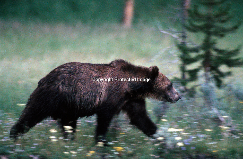 A large old grizzly bear in Yellowstone National Park along the Yellowstone River .As the grizzly population recovers the bears are expanding back into their old habitat outside the park. Yellowstone Grizzlies may be delisted from the endangered species list in 2005.
