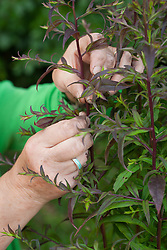 Taking cuttings from aster