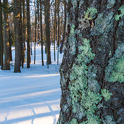Lichen on a white pine tree in winter in the Dame Forest preserve in Durham, New Hampshire.