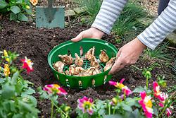 Planting daffodil bulbs in a border using a circular plastic tray
