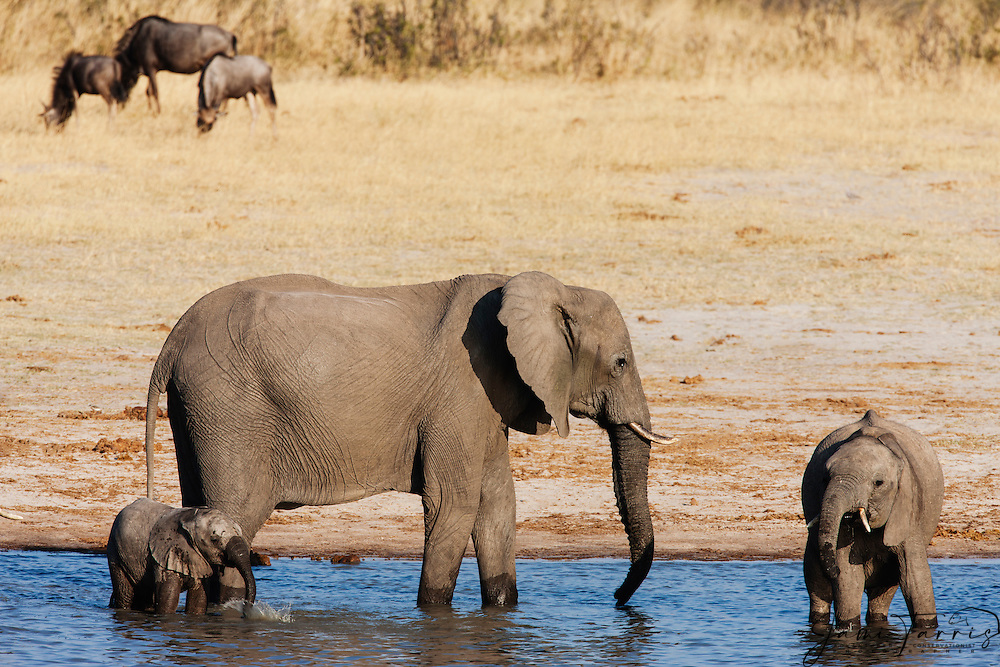 A female African elephant (Loxodonta africana)  with two young calves  drinking at a water, Hwange National Park, Zimbabwe,Africa