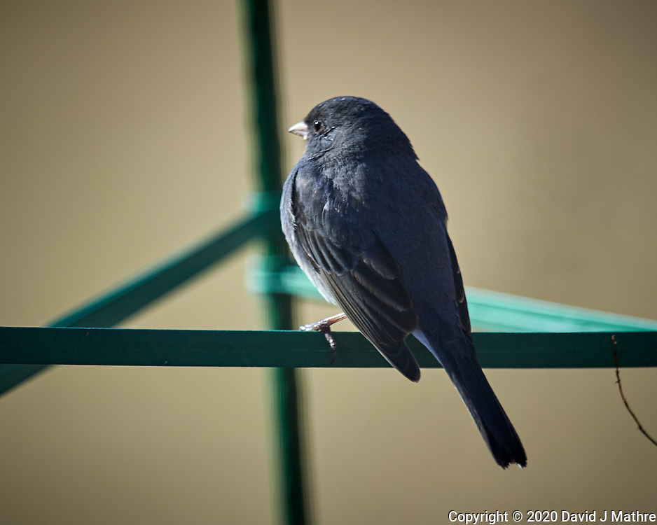 Dark-eyed Junco. Image taken with a Nikon D5 camera and 600 mm f/4 VR lens (ISO 250, 600 mm, f/4, 1/1250 sec).