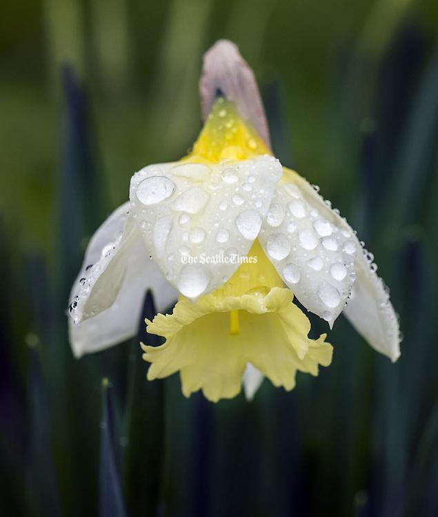 A daffodil bloom is heavy with raindrops along Lake Washington Boulevard near Seward Park. (Bettina Hansen / The Seattle Times)