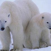 Polar Bear, (Ursus maritimus) Portrait of mother and cubs. Hudson Bay. Churchill, Manitoba. Canada.
