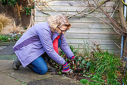 Cutting off hellebore leaves to reveal flowers