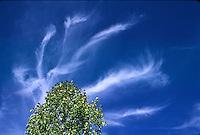 Cirrus intrortus clouds over a cottonwood tree, Colorado plains.
