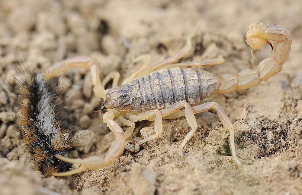 Yellow Scorpion, Buthus occitanus, La Serena, Extremadura, Spain