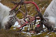 Svalbard reindeer, Rangifer tarandus platyrhynchus, Spitsbergen, Svalbard, Norway