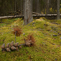 A branch with pine cones lies on the mossy forest floor in Banff National Park, Alberta, Canada.