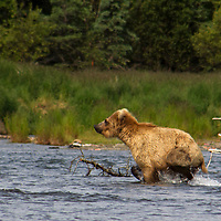 USA, Alaska, Katmai. Young grizzly playing in water