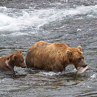 USA, Alaska, Katmai. Grizzly sow and first year cub in water at Brooks Falls,