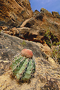 Pope's Head or Melon Cactus<br />Melocactus sp.<br />Caatinga Habitat, NE BRAZIL  South America<br />THREATENED HABITAT