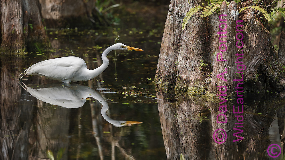Great egret wading in pool at the base of a large cypress tree,  leaning forward in fish stalking position, with reflection, Big Cypress National Preserve, © 2007 David A. Ponton