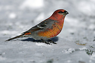 Adult male<br /> St. Louis Co., MN<br /> January 2005