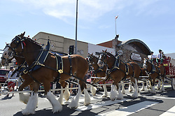 March 30, 2019 - Long Beach, California, U.S. - The world famous Budweiser Clydesdales made quite an amazing photo opportunity for the crowds gathered,  as they marched down Second Street in Long Beach on Saturday, March 30, 2019. (Credit Image: © Brittany Murray/SCNG via ZUMA Wire)