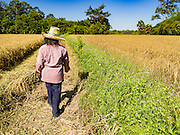"""08 DECEMBER 2015 - KO WAI, NAKHON NAYOK, THAILAND: A woman walks through her rice paddy during the rice harvest in Nakhon Nayok province, about two hours north of Bangkok. Thai agricultural officials expect rice prices to go up by as much as 15% as global production of rice is cut by the Pacific Ocean El Niño weather pattern. Thailand's rice production is expected to drop in the coming year. Persistent drought has reduced the main crop, currently being harvested, and the military government has ordered farmers not to plant a second crop of """"dry season"""" rice to conserve Thailand's dwindling supply of water. Thailand's water reservoirs are at their lowest seasonal levels in recent memory and little rain is expected during the dry season, which lasts until June.    PHOTO BY JACK KURTZ"""
