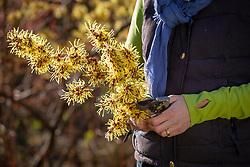 Cutting stems of Hamamelis x intermedia Pallida AGM - Witch hazel - to make an arrangement.