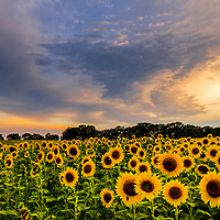 The sun sets on a field of sunflowers in Wisconsin