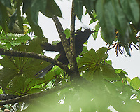 Crested Guan (Penelope purpurascens). Arenal Volcano Lodge. Image taken with a Nikon D3s camera and 70-300 mm VR lens
