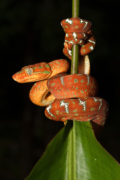 Emerald Tree Boa (Corallus caninus)<br /> Iwokrama Forest Reserve<br /> GUYANA<br /> South America