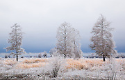 Three Frozen trees in ricefield