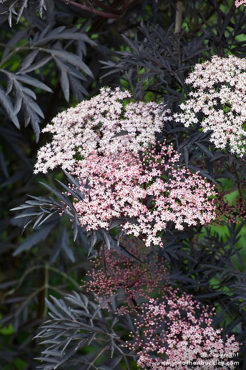 Sambucus nigra f. porphyrophylla 'Eva' AGM syn. Sambucus nigra f. porphyrophylla 'Black Lace' - Black Elder