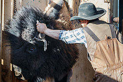 Cowboys working bison at head gate, Ladder Ranch, west of Truth or Consequences, New Mexico, USA.