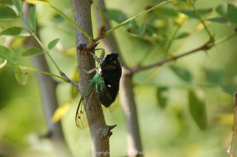 This cicada had very recently emerged from its shell.  Princeton Nursery, Princeton, NJ