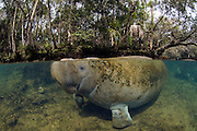 Captive Florida Manatee (Trichechus manatus latirostrus) in Homosassa Springs State Park in northwestern Florida.