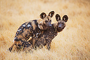 A mating pair of endangered African wild dogs (Lycaon pictus), Khwai River, Moremi Reserve, Botswana, Africa