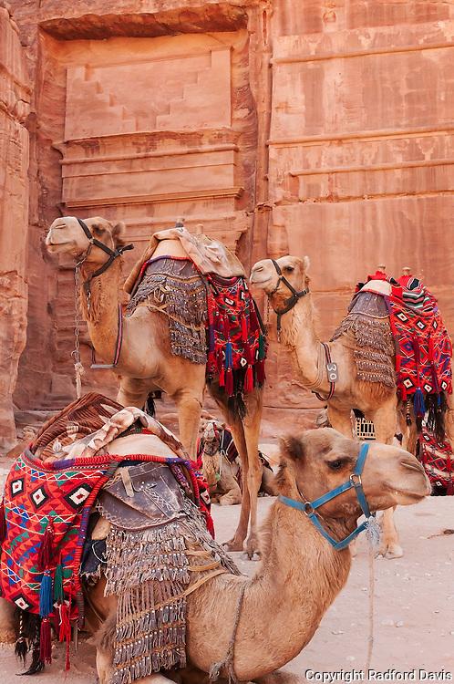 Camels waiting at Petra, Jordan
