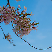 Tree branch with cherry blossom