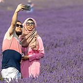 Britain's Lavender Fields