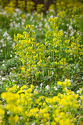 Euphorbia amygdaloides var. robbiae and Anemone nemorosa carpeting the ground in the nuttery at Sissinghurst. Wood Spurge, Wood anemone