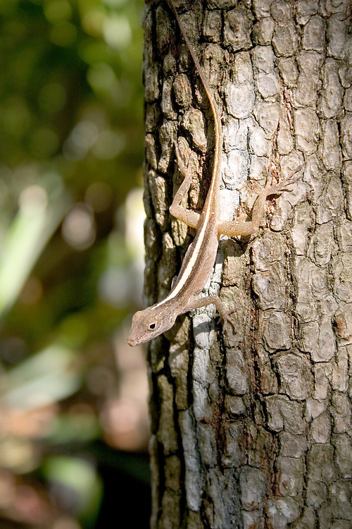 Lizard sunning itself in a tree, St. John U.S. Virgin Islands